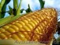 Насiння гiбридiв кукурудзи. Перша репродукцiя.