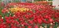 Луковицы сортовых Тюльпанов