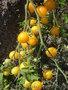 Семена-почтой: коллекция разнообразных томатов,  всего около 300 сортов