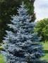 Ялинка голуба,  саженці,  ель голубая,  новорічна ялинка