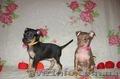 Продам щенков той терьера Родились 05,01,2014. - Изображение #3, Объявление #1033264