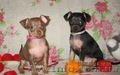 Продам щенков той терьера Родились 05,01,2014. - Изображение #1, Объявление #1033264