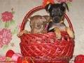 Продам щенков той терьера Родились 05,01,2014. - Изображение #5, Объявление #1033264